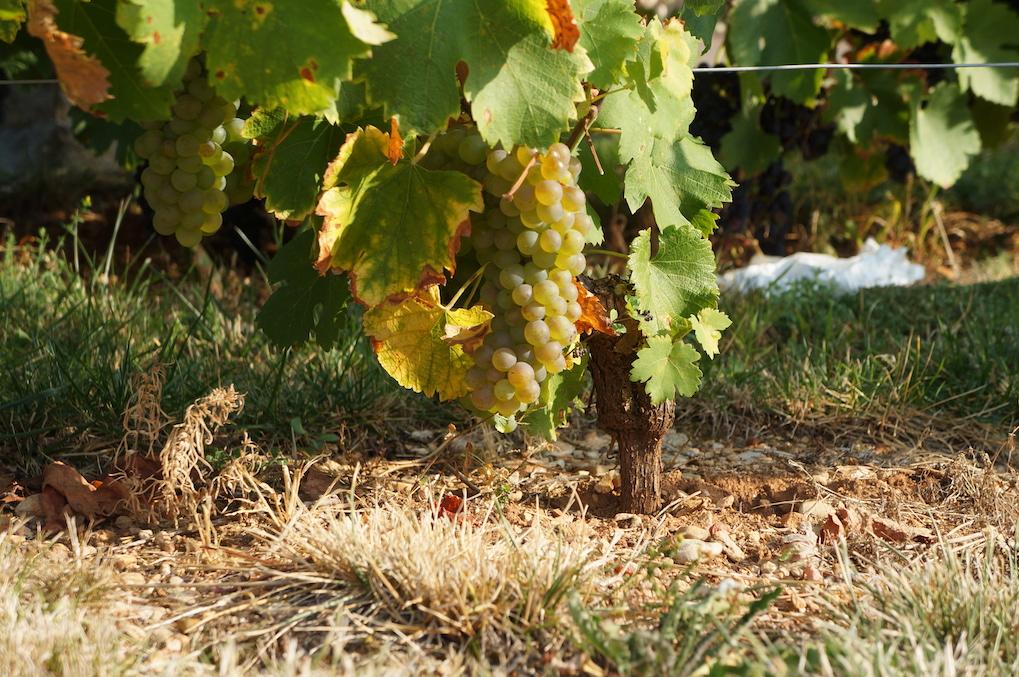 Chardonnay - Karoline Knoth